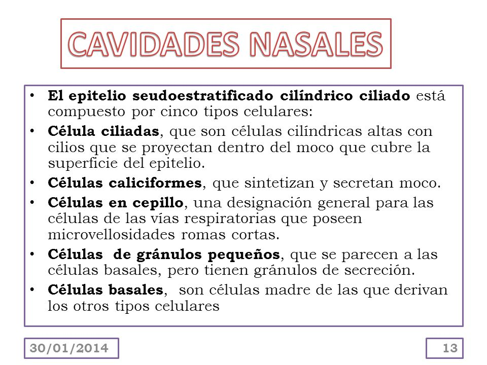 CAVIDADES NASALES El epitelio seudoestratificado cilíndrico ciliado está compuesto por cinco tipos celulares: