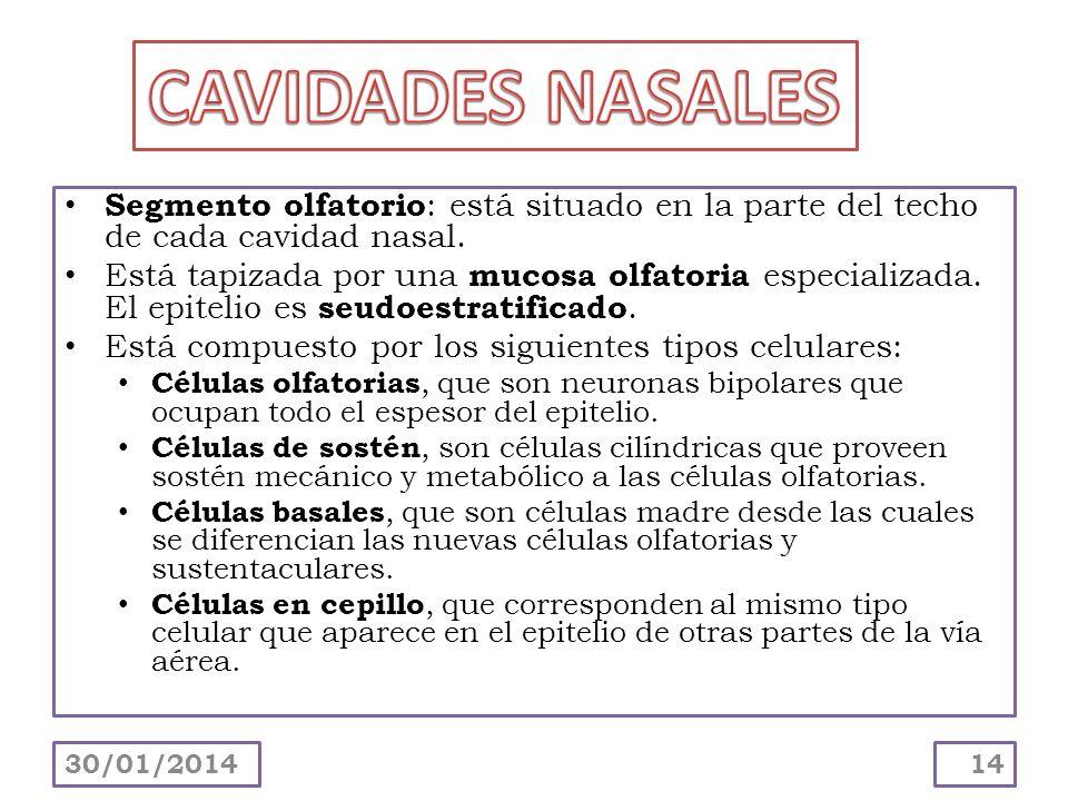 CAVIDADES NASALES Segmento olfatorio: está situado en la parte del techo de cada cavidad nasal.