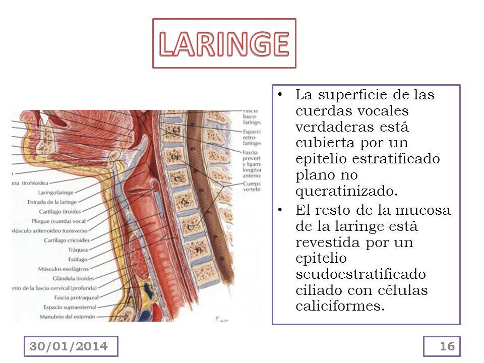 LARINGE La superficie de las cuerdas vocales verdaderas está cubierta por un epitelio estratificado plano no queratinizado.