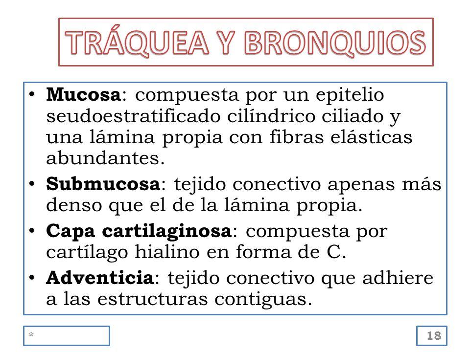 TRÁQUEA Y BRONQUIOS Mucosa: compuesta por un epitelio seudoestratificado cilíndrico ciliado y una lámina propia con fibras elásticas abundantes.