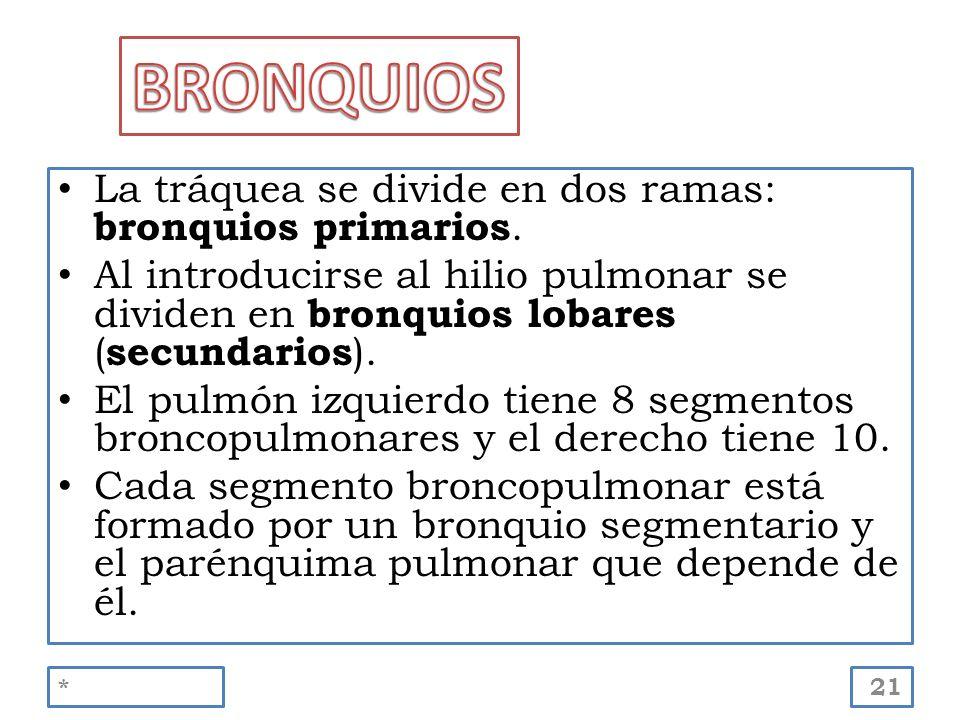 BRONQUIOS La tráquea se divide en dos ramas: bronquios primarios.