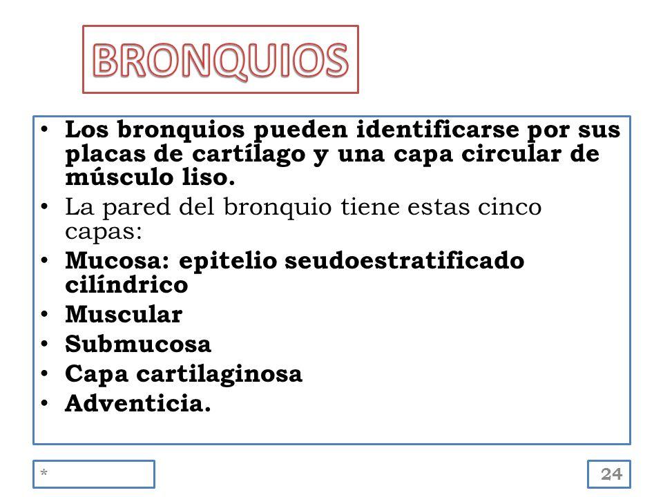 BRONQUIOS Los bronquios pueden identificarse por sus placas de cartílago y una capa circular de músculo liso.