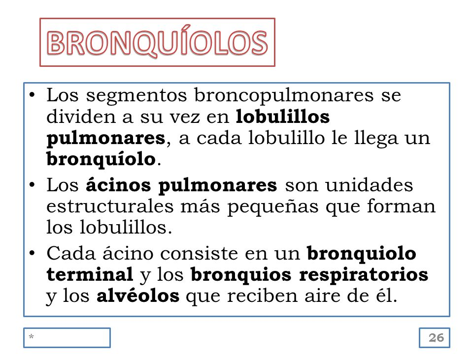 BRONQUÍOLOS Los segmentos broncopulmonares se dividen a su vez en lobulillos pulmonares, a cada lobulillo le llega un bronquíolo.
