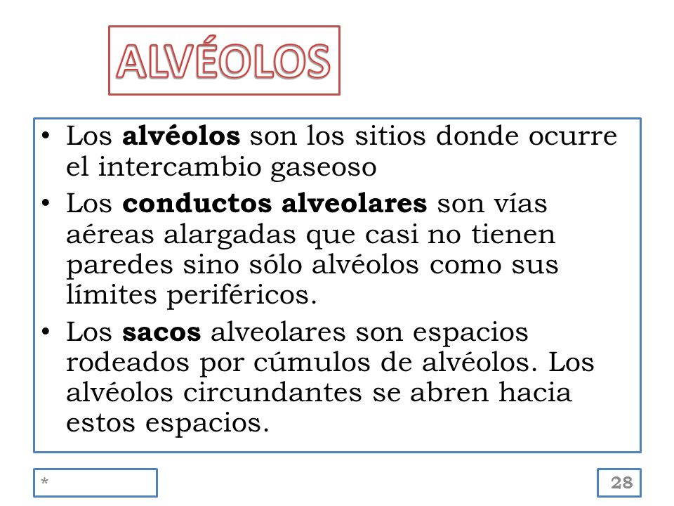 ALVÉOLOS Los alvéolos son los sitios donde ocurre el intercambio gaseoso.
