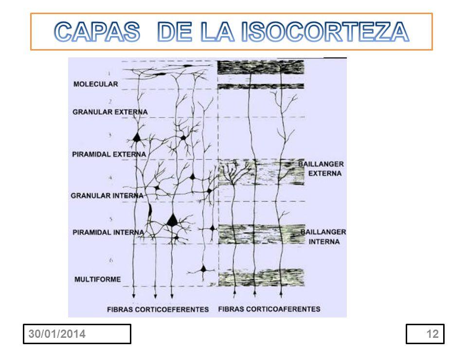 CAPAS DE LA ISOCORTEZA 24/03/2017