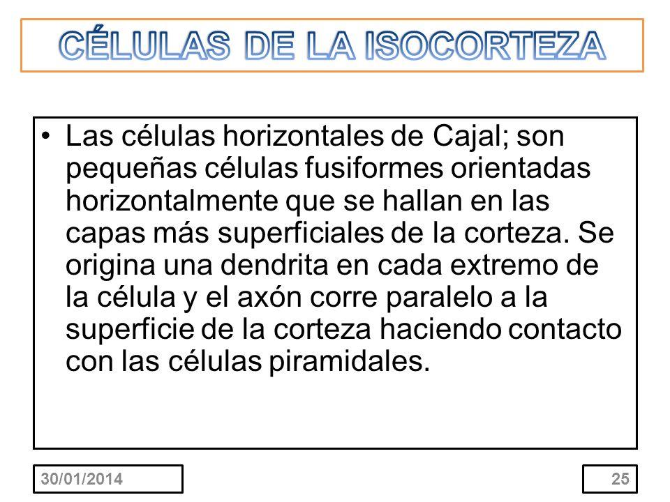 CÉLULAS DE LA ISOCORTEZA