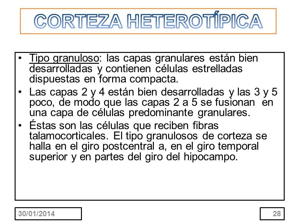 CORTEZA HETEROTÍPICA Tipo granuloso: las capas granulares están bien desarrolladas y contienen células estrelladas dispuestas en forma compacta.