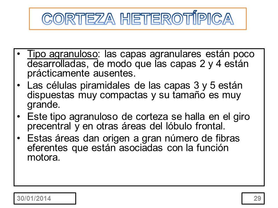CORTEZA HETEROTÍPICA Tipo agranuloso: las capas agranulares están poco desarrolladas, de modo que las capas 2 y 4 están prácticamente ausentes.