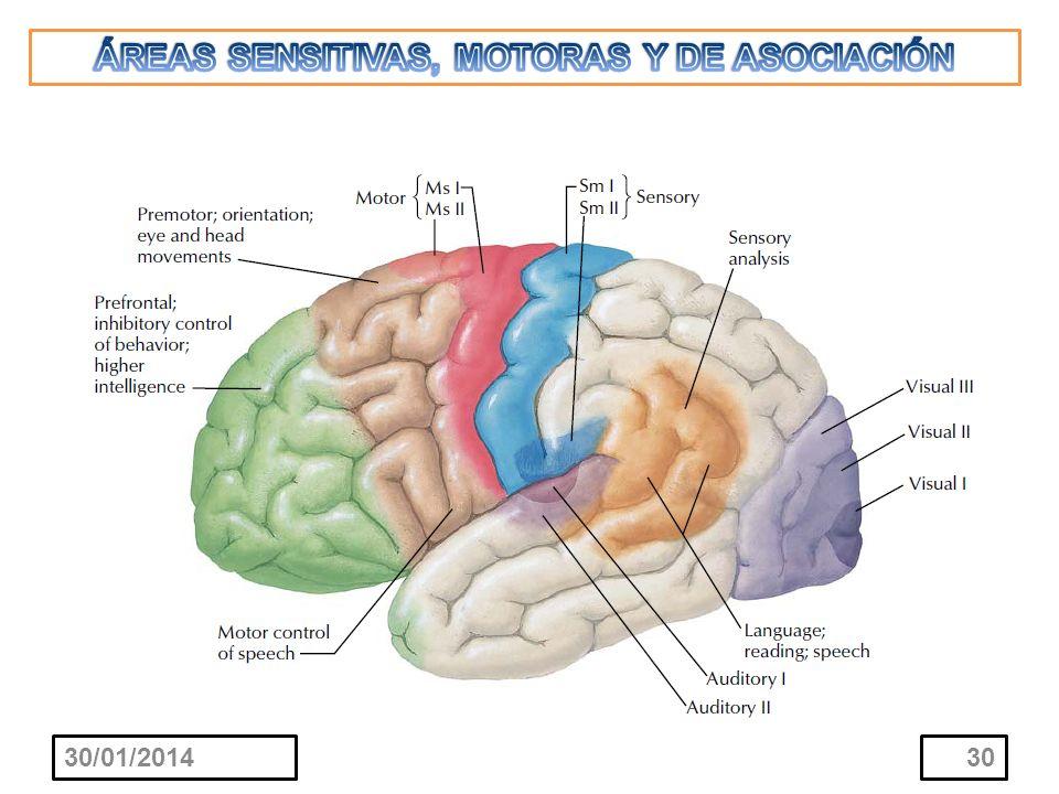 ÁREAS SENSITIVAS, MOTORAS Y DE ASOCIACIÓN