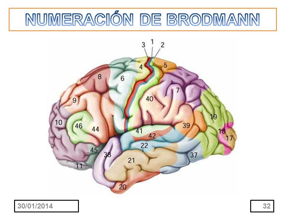NUMERACIÓN DE BRODMANN