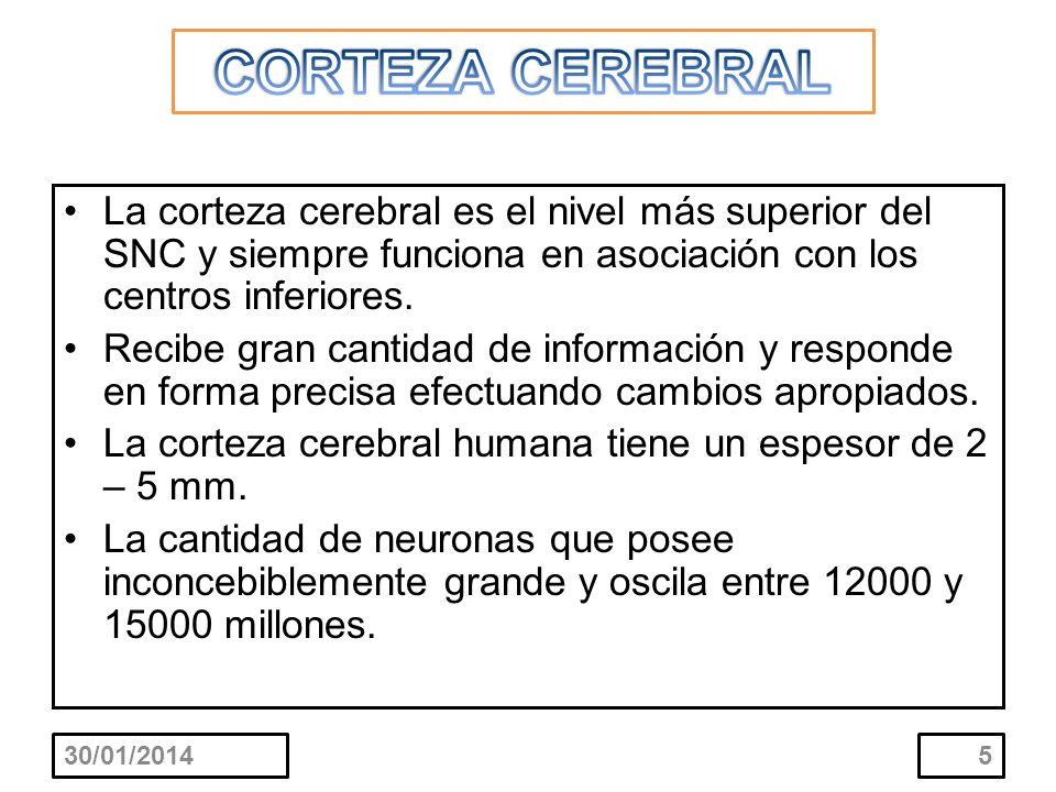 CORTEZA CEREBRAL La corteza cerebral es el nivel más superior del SNC y siempre funciona en asociación con los centros inferiores.