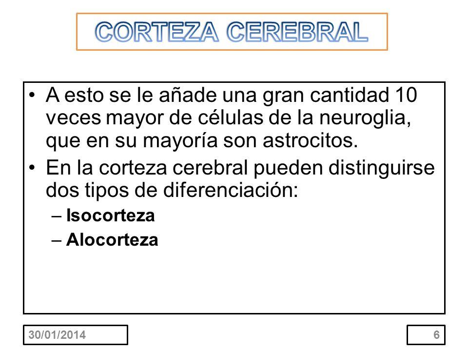 CORTEZA CEREBRAL A esto se le añade una gran cantidad 10 veces mayor de células de la neuroglia, que en su mayoría son astrocitos.