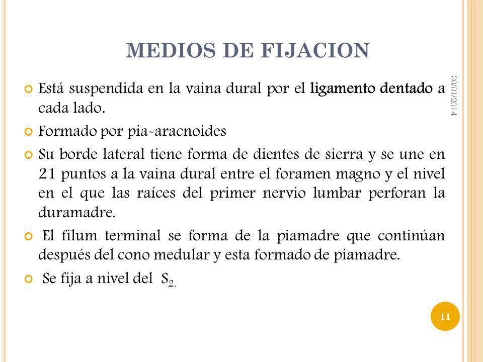 MEDIOS DE FIJACION24/03/2017. Está suspendida en la vaina dural por el ligamento dentado a cada lado.
