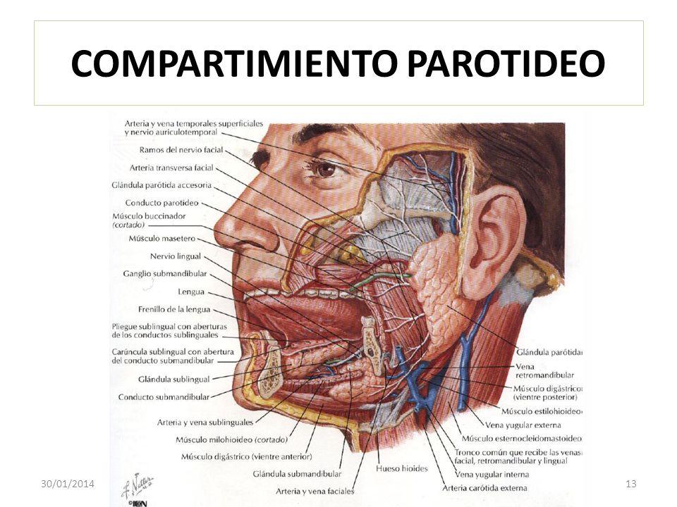 COMPARTIMIENTO PAROTIDEO