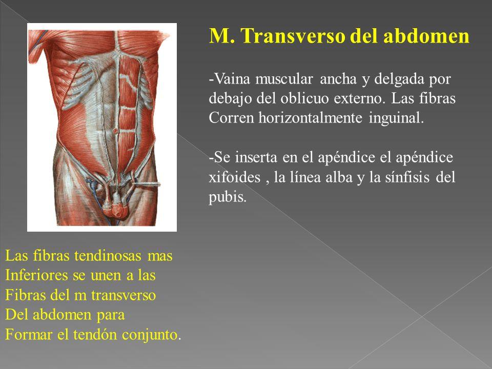 M. Transverso del abdomen