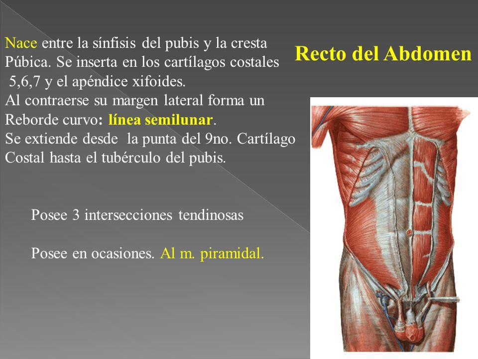 Recto del Abdomen Nace entre la sínfisis del pubis y la cresta
