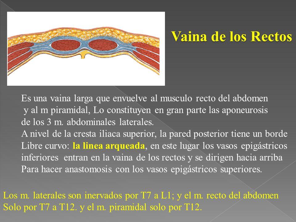 Vaina de los Rectos Es una vaina larga que envuelve al musculo recto del abdomen. y al m piramidal, Lo constituyen en gran parte las aponeurosis.
