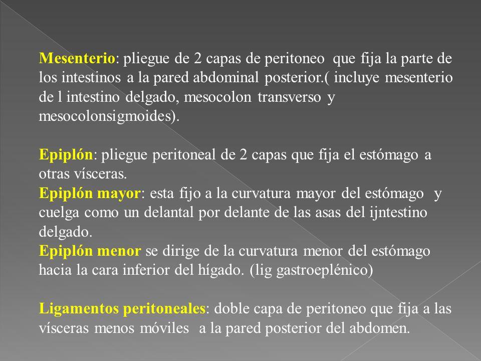 Mesenterio: pliegue de 2 capas de peritoneo que fija la parte de los intestinos a la pared abdominal posterior.( incluye mesenterio de l intestino delgado, mesocolon transverso y mesocolonsigmoides).