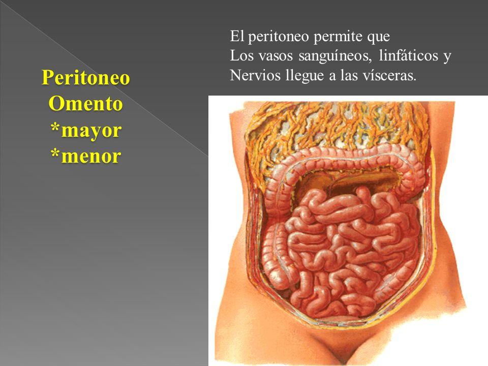Peritoneo Omento *mayor *menor
