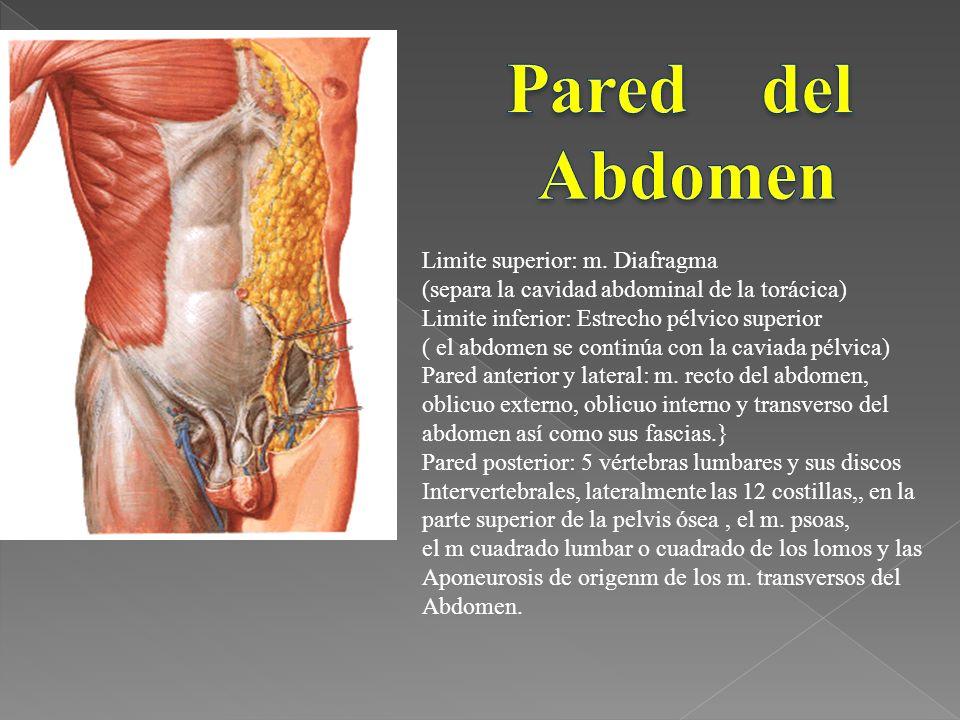 Pared del Abdomen Limite superior: m. Diafragma