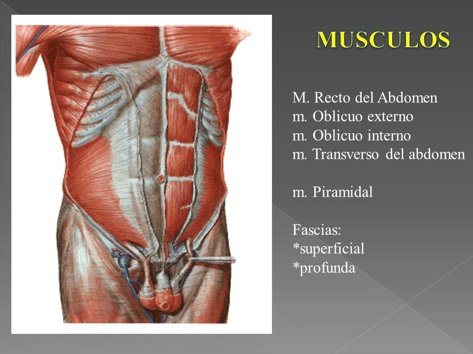 MUSCULOS M. Recto del Abdomen m. Oblicuo externo m. Oblicuo interno