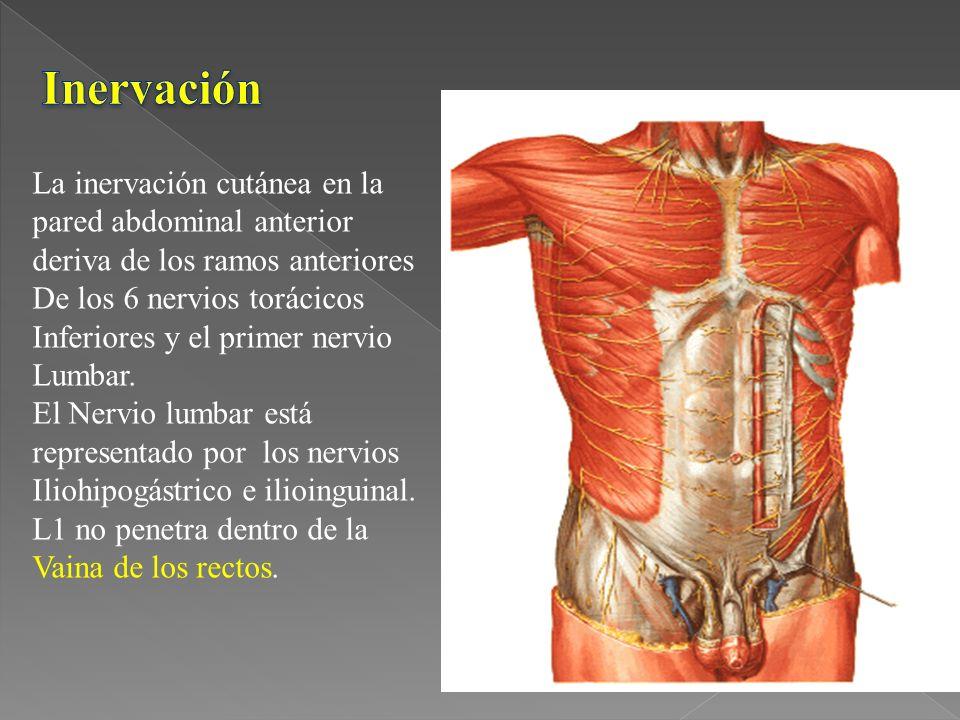 Inervación La inervación cutánea en la pared abdominal anterior