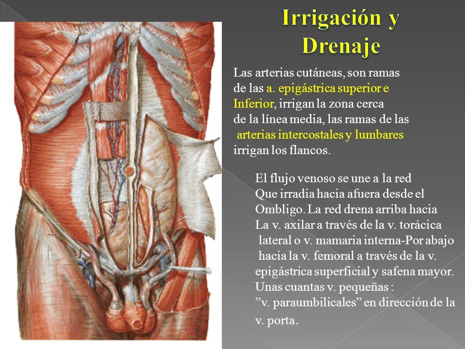 Irrigación y Drenaje Las arterias cutáneas, son ramas