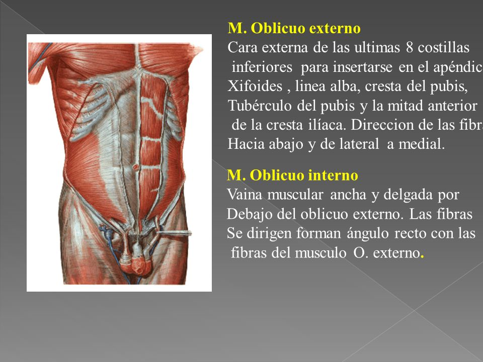 M. Oblicuo externo Cara externa de las ultimas 8 costillas. inferiores para insertarse en el apéndice.