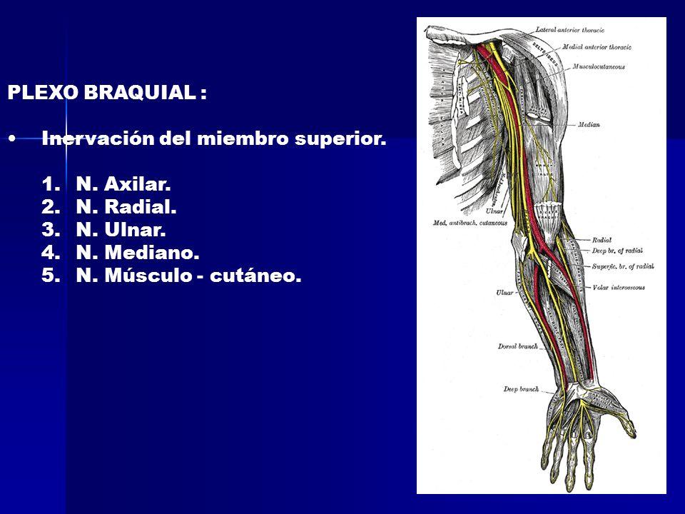PLEXO BRAQUIAL :Inervación del miembro superior.N.