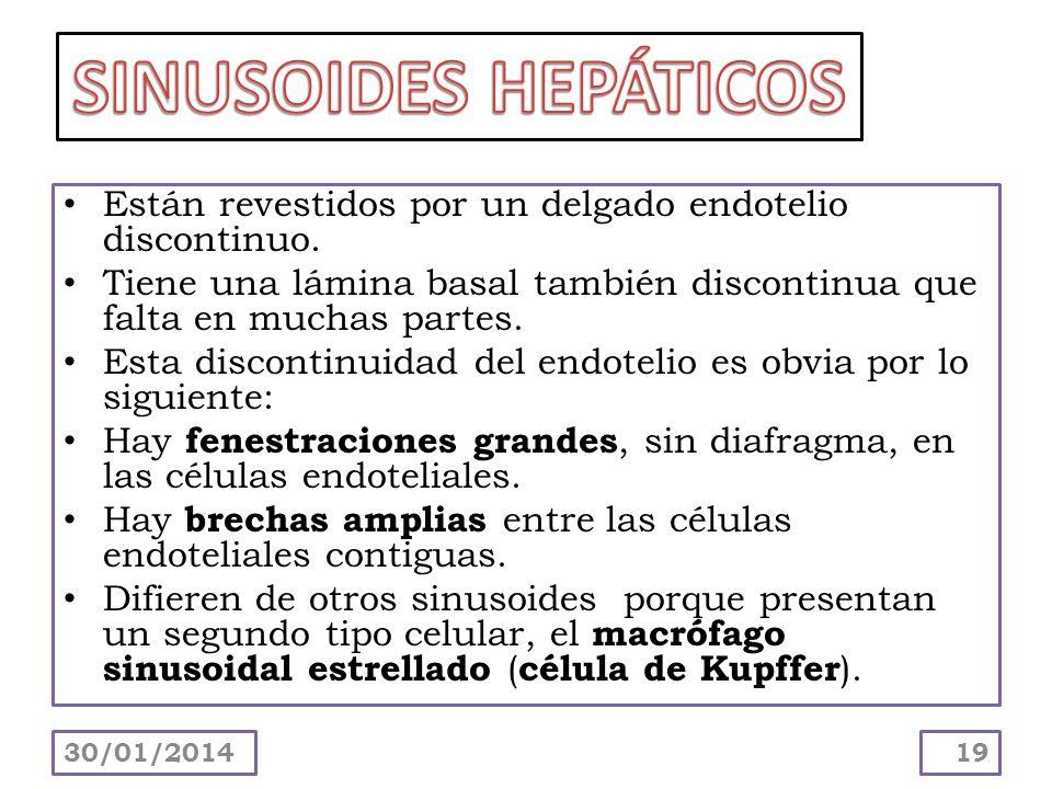 SINUSOIDES HEPÁTICOS Están revestidos por un delgado endotelio discontinuo. Tiene una lámina basal también discontinua que falta en muchas partes.