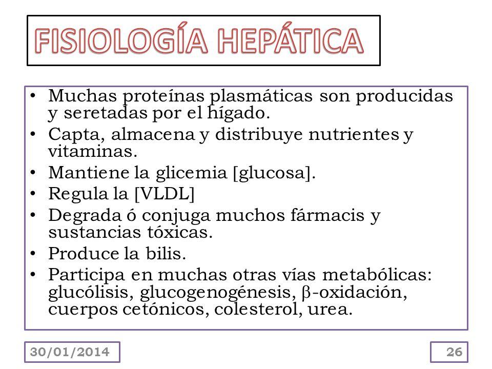 FISIOLOGÍA HEPÁTICA Muchas proteínas plasmáticas son producidas y seretadas por el hígado. Capta, almacena y distribuye nutrientes y vitaminas.