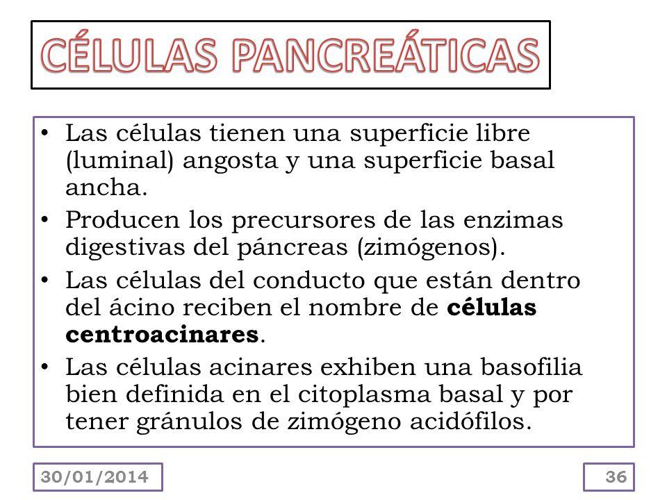CÉLULAS PANCREÁTICAS Las células tienen una superficie libre (luminal) angosta y una superficie basal ancha.