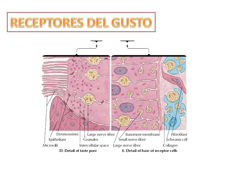 RECEPTORES DEL GUSTO