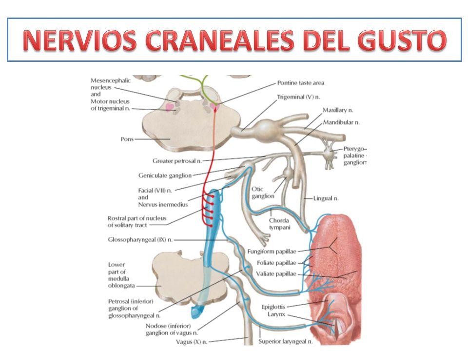 NERVIOS CRANEALES DEL GUSTO