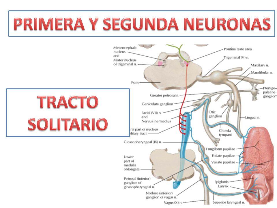 PRIMERA Y SEGUNDA NEURONAS