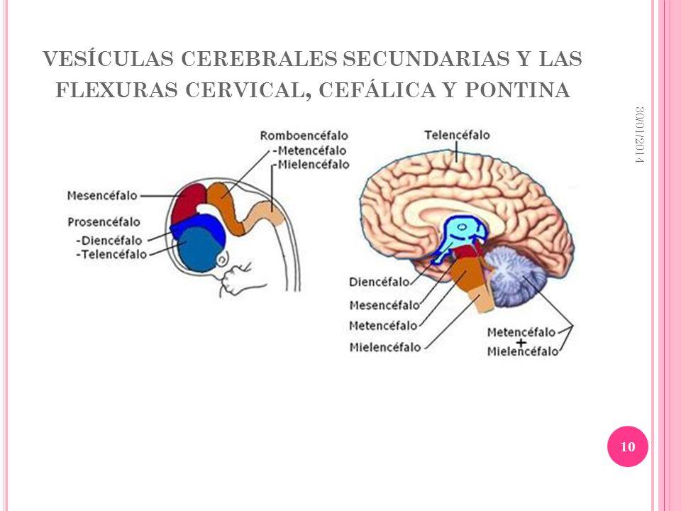vesículas cerebrales secundarias y las flexuras cervical, cefálica y pontina