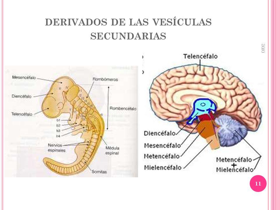 derivados de las vesículas secundarias