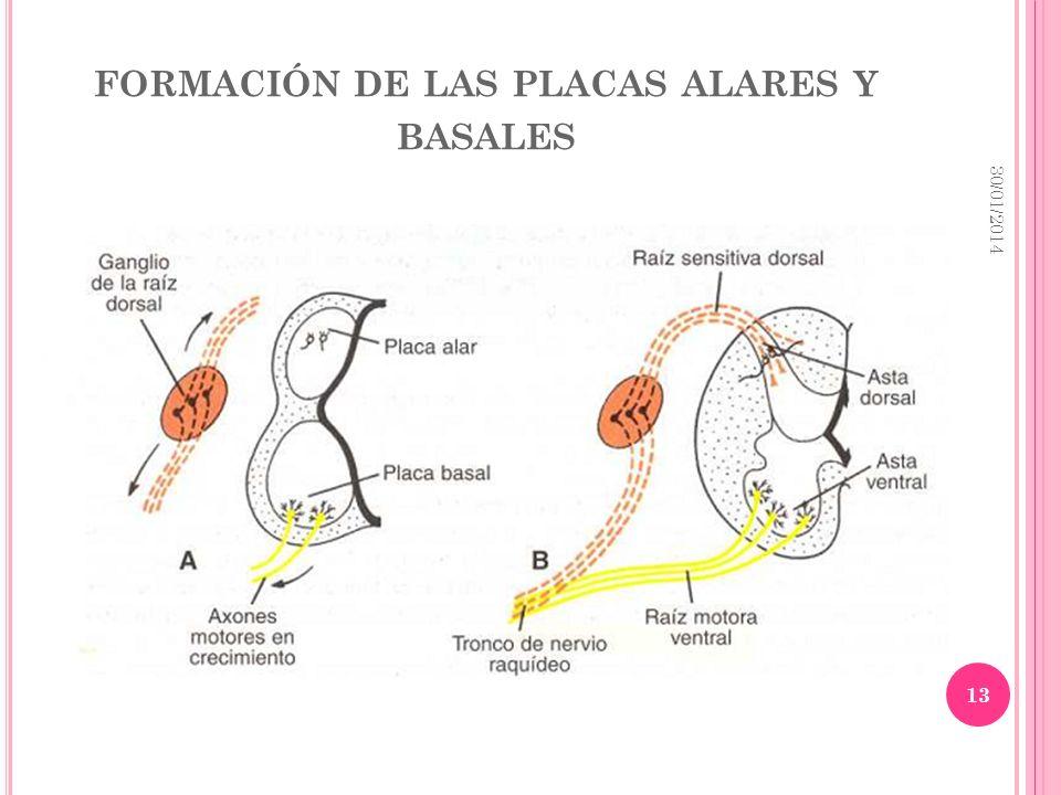 formación de las placas alares y basales