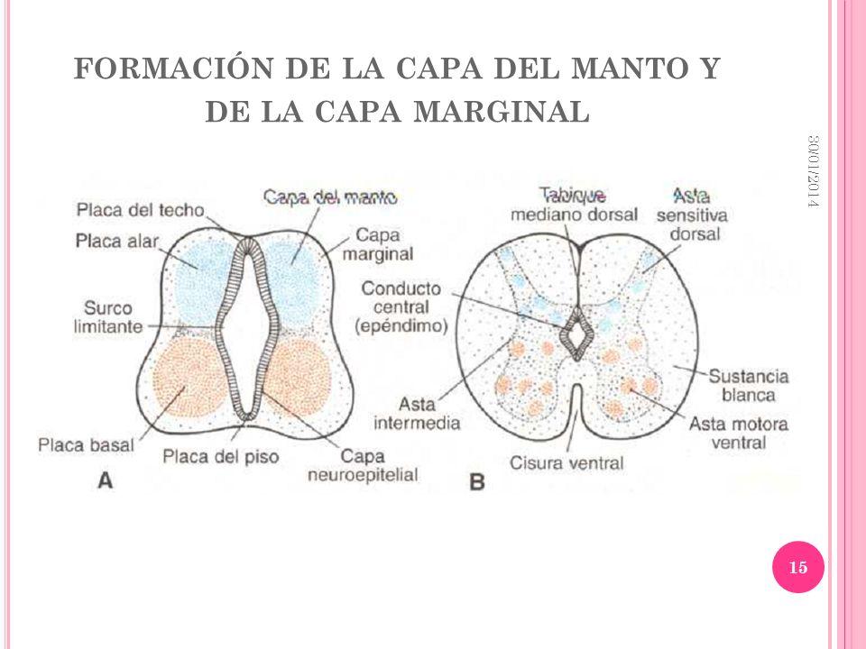 formación de la capa del manto y de la capa marginal