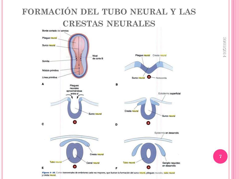 formación del tubo neural y las crestas neurales