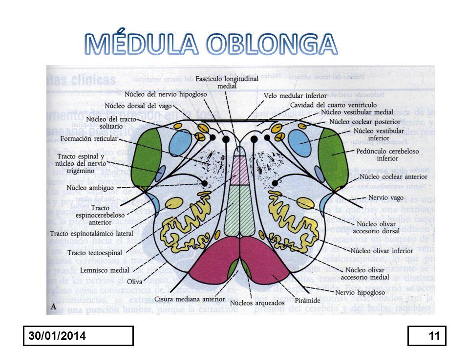 MÉDULA OBLONGA 24/03/2017
