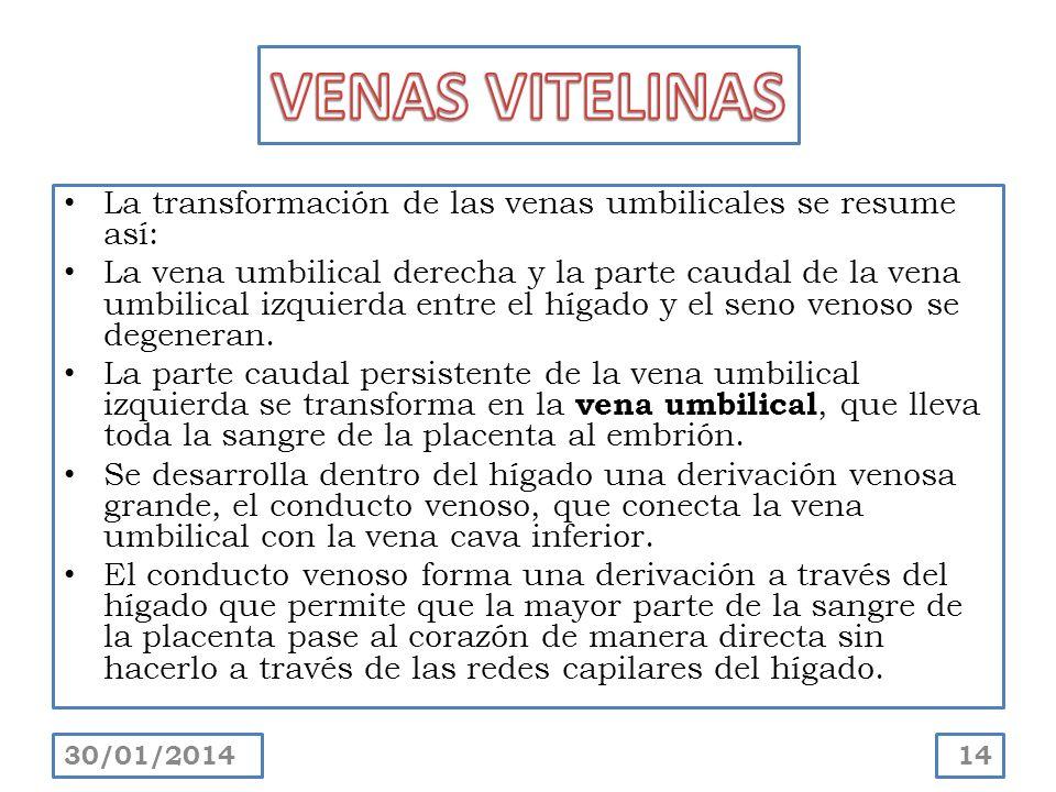 VENAS VITELINAS La transformación de las venas umbilicales se resume así: