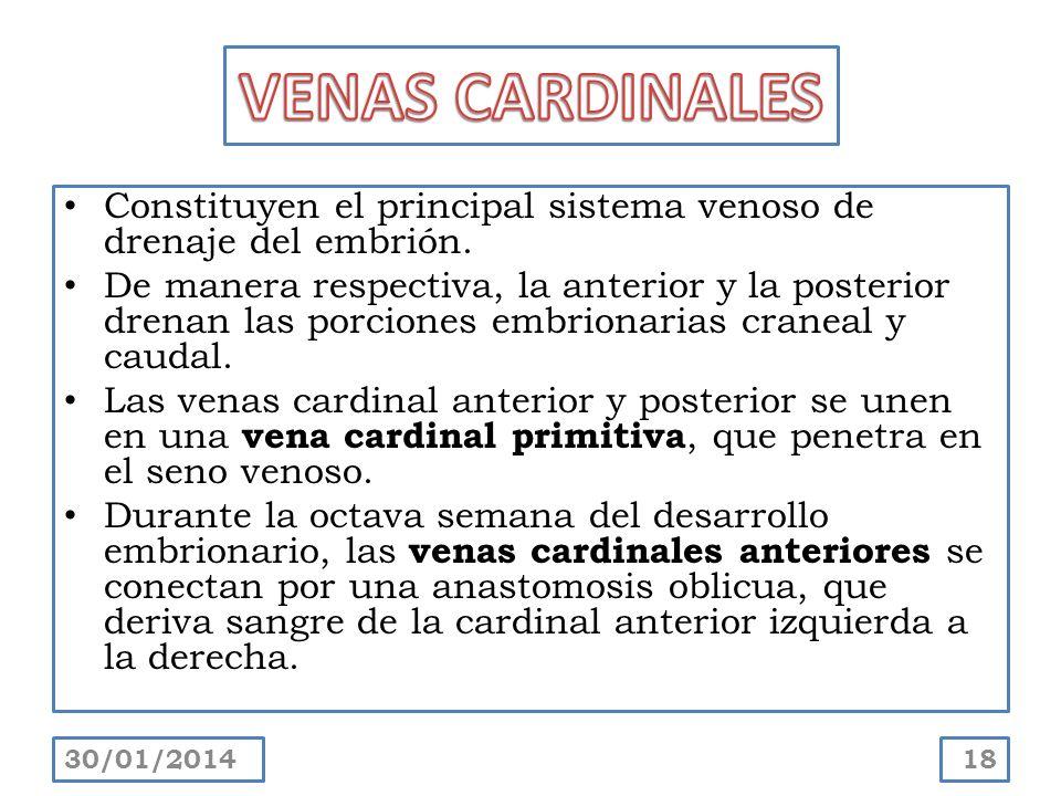 VENAS CARDINALES Constituyen el principal sistema venoso de drenaje del embrión.