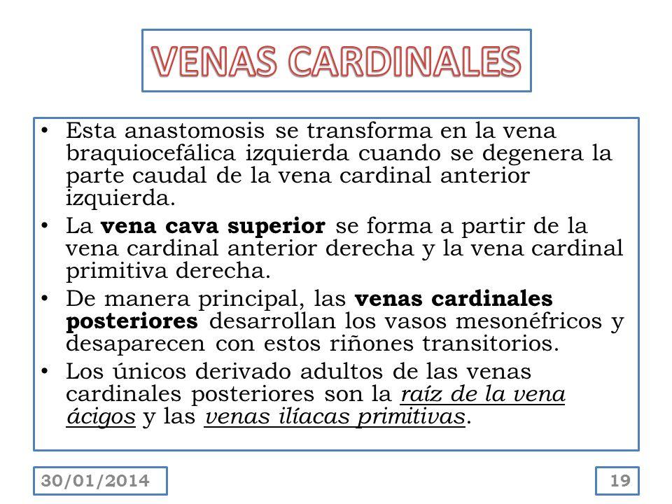 VENAS CARDINALES