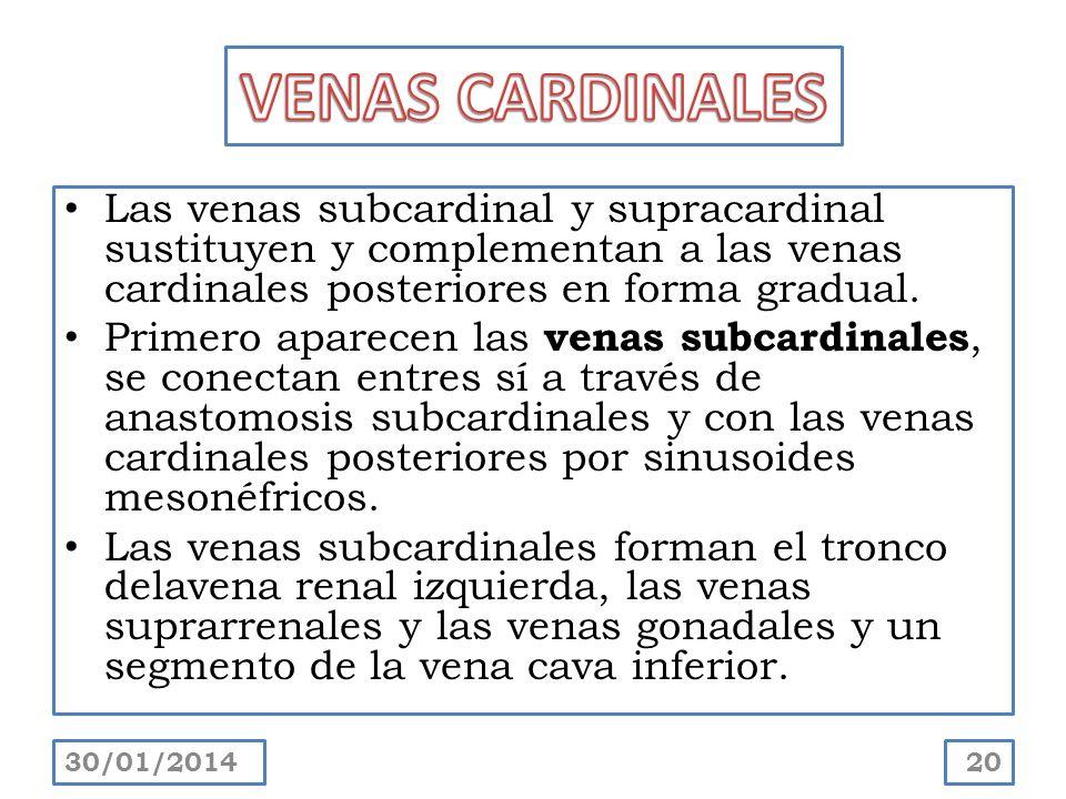 VENAS CARDINALES Las venas subcardinal y supracardinal sustituyen y complementan a las venas cardinales posteriores en forma gradual.