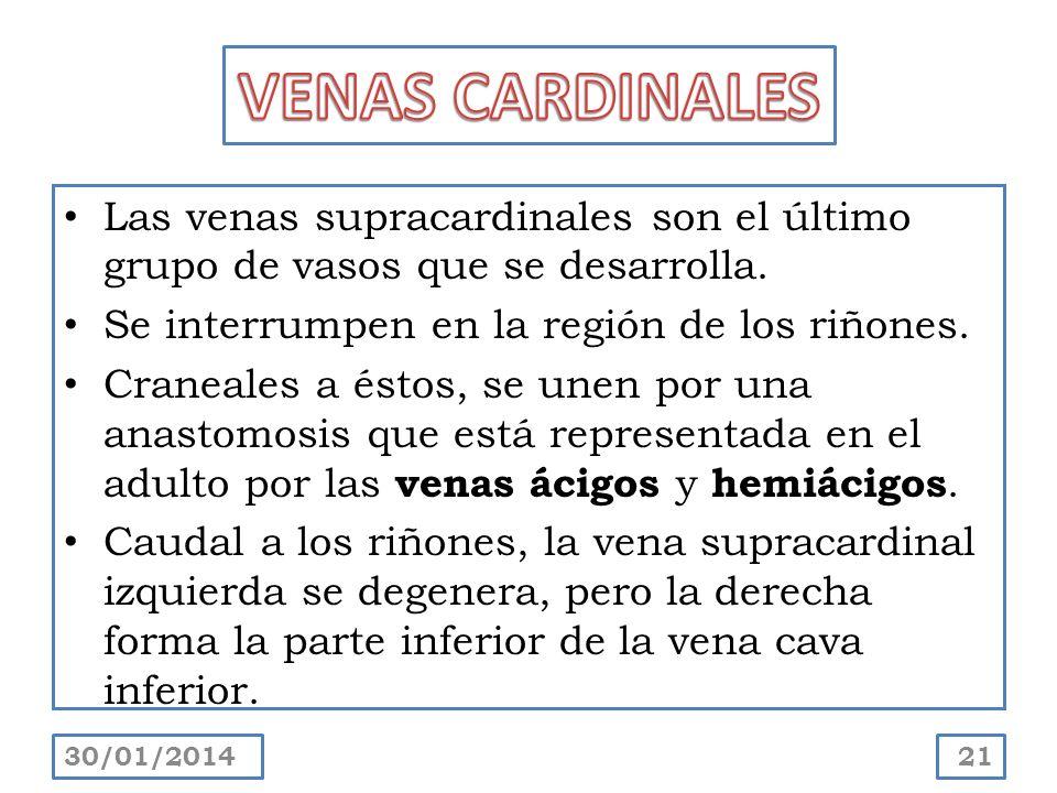 VENAS CARDINALES Las venas supracardinales son el último grupo de vasos que se desarrolla. Se interrumpen en la región de los riñones.