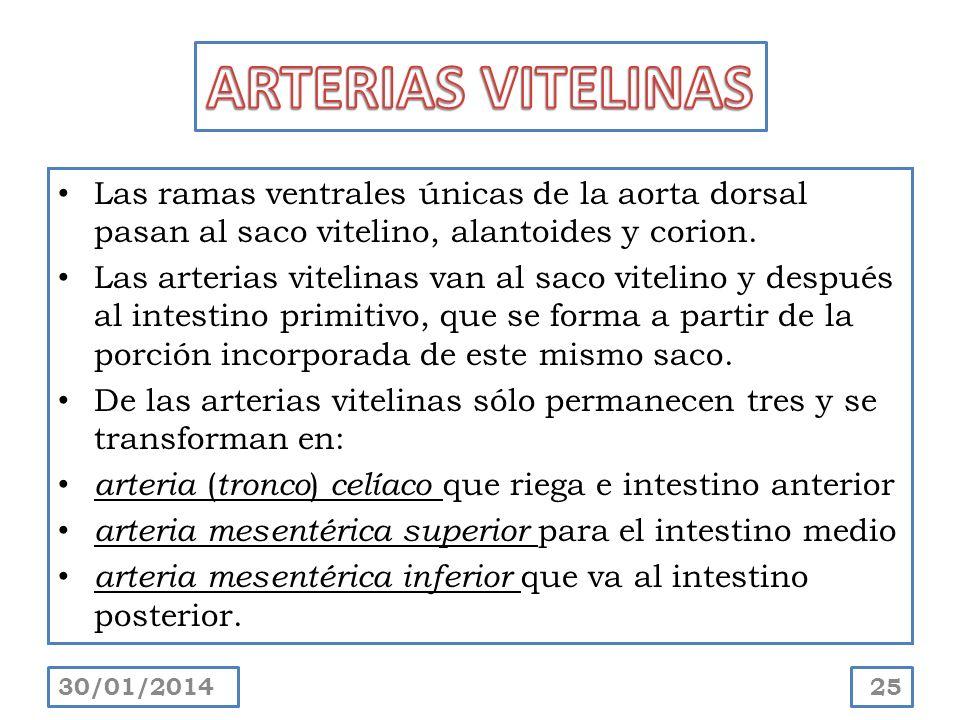 ARTERIAS VITELINASLas ramas ventrales únicas de la aorta dorsal pasan al saco vitelino, alantoides y corion.