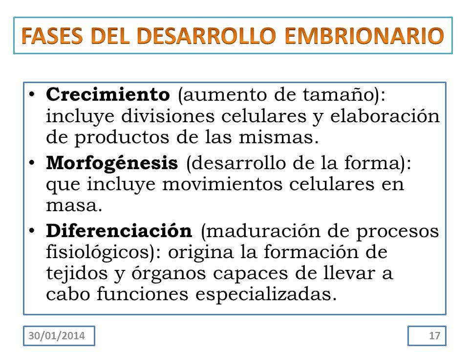 FASES DEL DESARROLLO EMBRIONARIO