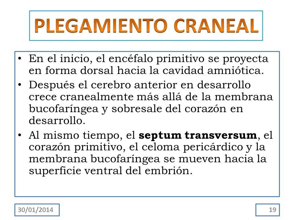 PLEGAMIENTO CRANEAL En el inicio, el encéfalo primitivo se proyecta en forma dorsal hacia la cavidad amniótica.