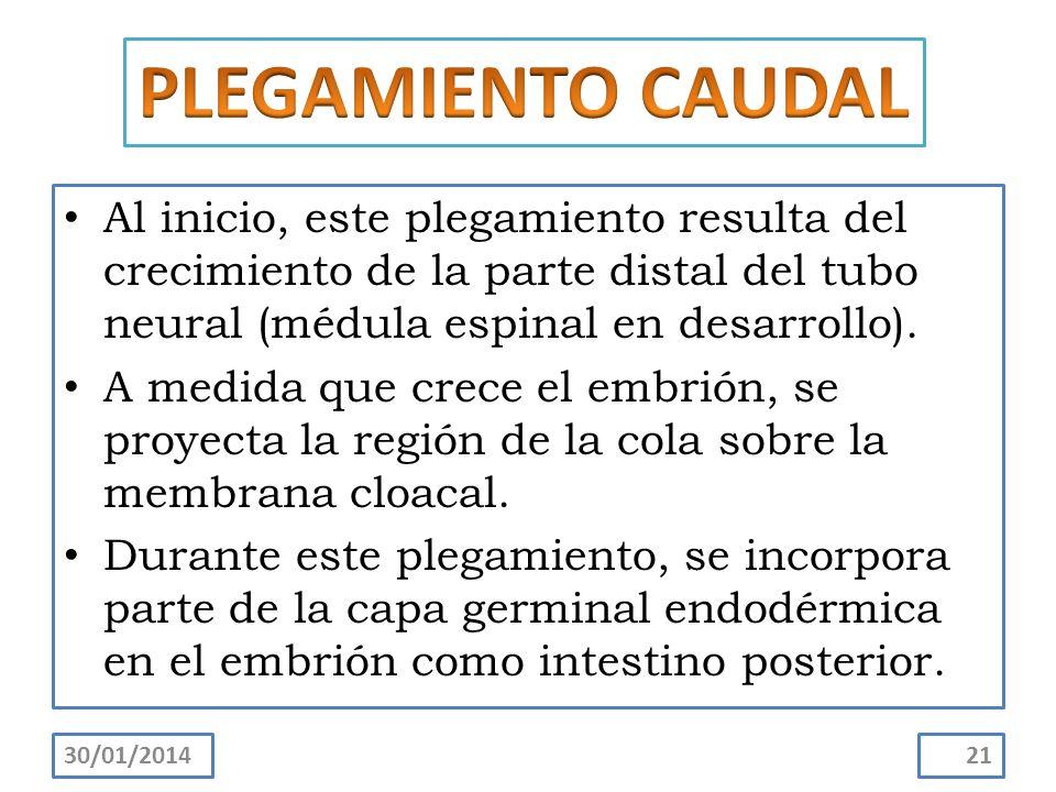 PLEGAMIENTO CAUDAL Al inicio, este plegamiento resulta del crecimiento de la parte distal del tubo neural (médula espinal en desarrollo).